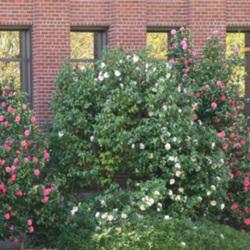 north-admin-camellia2.jpg