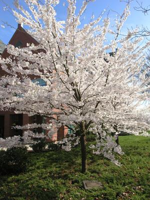 bellamy-flowering.jpg