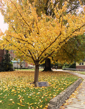 mcauliffe-tree.jpg