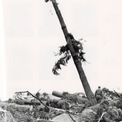 Last Tree stands in Grove after Columbus Day Storm<br />